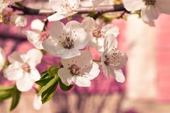 Spring white flower. Spring  beautiful  floer flower tree pink green whitw white red royalty free stock photos