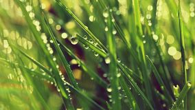 Spring. Beautiful natural background of green grass with dew and water drops. Seasonal concept - morning in nature. Stock Photography