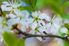 Spring beautiful picture. As the buds, leaves, blossoms cherry. Macro flowers of garden trees, ant. royalty free stock image