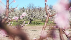 Spring. Beautiful pink blossoming peach trees.