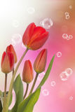 Spring  beautiful red tulip flower Stock Photography