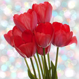 Spring  beautiful red tulip Stock Photo
