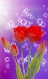Spring  beautiful tulip flower.Holiday card Stock Photo