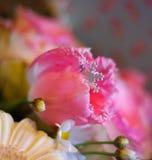spring beautiful tulip flower last snowflake Royalty Free Stock Photography
