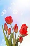 Spring  beautiful tulip Stock Images
