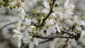 Spring. Beautiful white flowers on the branches of a tree. stock footage