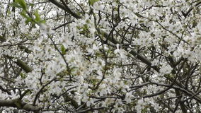 Spring. Beautiful white flowers on the branches of a tree. London. England. United Kingdom. Flowers of city parks and gardens stock footage