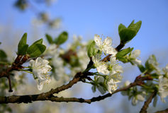 Spring beauty. Blossoms on an orchard tree in spring stock photo