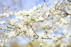 Spring beauty background. Blooming white Flowers of trees Stock Photography