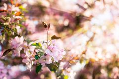 Beautiful apple or cherry blossom with soft focus on a background of sun rays. Spring beauty concept. Freshness and sunlight in blooming garden. Wallpaper or royalty free stock image