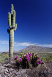 Spring beauty at Picacho Peak State Park, Arizona Royalty Free Stock Photography