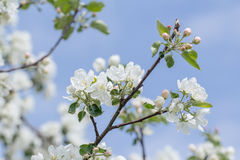 Spring beauty of pink and white apple tree flowers on branch Royalty Free Stock Photos