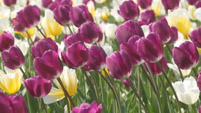 Spring beauty of the tulip stock video