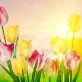Spring Beauty tulips flower. EPS 10 Stock Photos