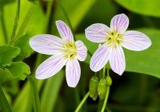 Spring beauty wildflower Stock Photos