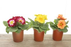 Spring bedding plants Royalty Free Stock Image
