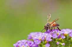 Spring Bee Royalty Free Stock Photos