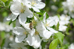 Spring bee. Blossom of the pear tree Royalty Free Stock Photos