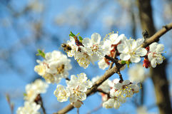 Spring. Bee on cherry blossoms branches Royalty Free Stock Image