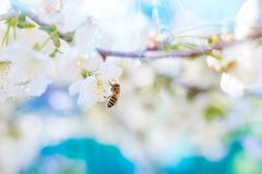 Spring. Bee collects nectar pollen from the white flowers of a. Flowering cherry on a blurred background of nature and blue sky. Fantastic lights of a sun royalty free stock photography
