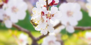 Spring. Bee collects nectar pollen from the white flowers of a. Flowering cherry on a blurred background of nature. Panorama. Blurred space for text stock photos