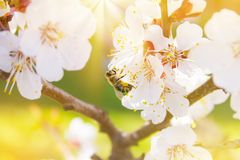 Spring. Bee collects nectar pollen from the white flowers of a. Flowering cherry on a blurred background of nature. Lights of a sun. Blurred space for text royalty free stock photography