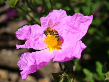 Spring Bee and Flower. Pollination of a spring flower by a bee Royalty Free Stock Image