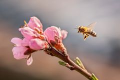 Spring. Bee and peach tree. stock images