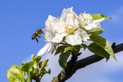 Spring - a bee Stock Image