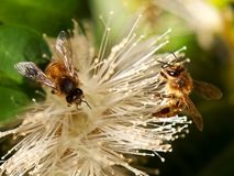 Spring bee Worker Bees Collect Nectar Stock Photos