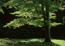 Spring beech in back lichting Royalty Free Stock Images