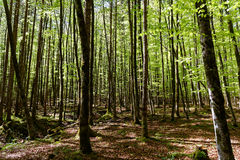 Spring beech forest background Stock Photography