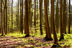 Spring beech forest Royalty Free Stock Image