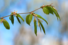 Spring beech leaves Royalty Free Stock Photography