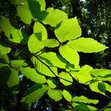 Spring beech tree detail Royalty Free Stock Image