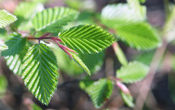 Spring beech tree leaves Stock Photos