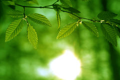 Spring beech tree leaves Royalty Free Stock Images