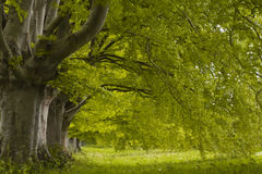 Spring beeches Stock Photos