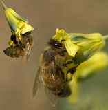 Spring bees collect pollen from yellow flowers Royalty Free Stock Images