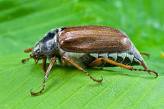 Spring beetle cockchafer Royalty Free Stock Image