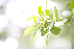 Spring Berries on Tree with sparkly background stock images