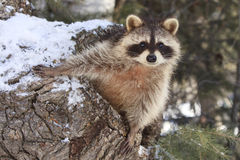Is it spring yet. Big raccoon peeking out of den Royalty Free Stock Image