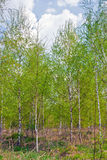 Spring birch Royalty Free Stock Photos