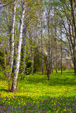 Spring birch Stock Image