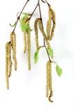 Spring birch Royalty Free Stock Photography
