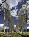 Spring birch alley Royalty Free Stock Photography