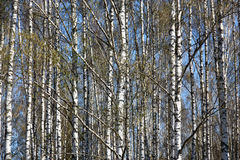 Spring birch background. Spring. A bright sunny day. A birchwood. On branches there are ear rings and young green leaves. Between white trunks the blue sky is royalty free stock images
