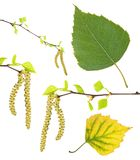 Spring birch branches with catkins, green summer and yellow autumn leaf isolated on white Royalty Free Stock Photos