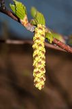 Spring Birch catkins Royalty Free Stock Photo