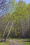 Spring birch Royalty Free Stock Images